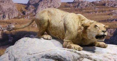 KLONIRANJE IZUMRLE VRSTE: Pećinski lav uskoro kreće u lov!